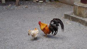 もんでんゆうこ 谷保天満宮の鶏