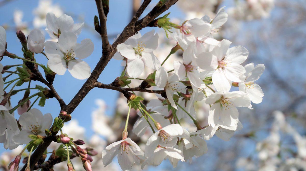 桜 コノハナサクヤヒメ
