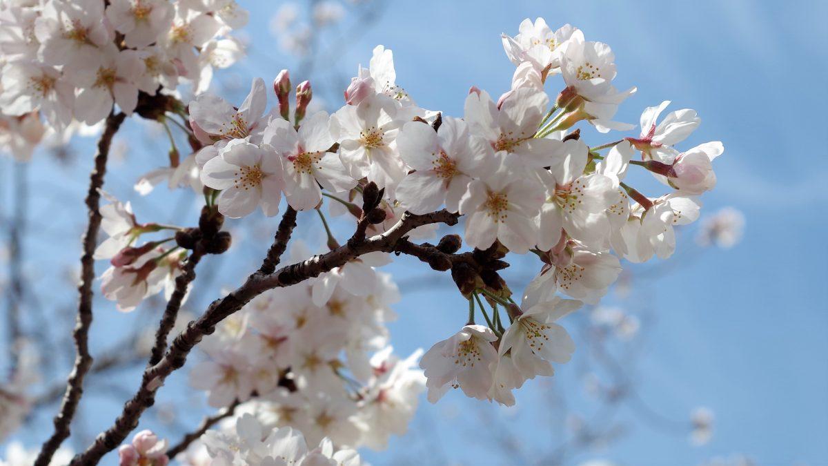 神代の昔から日本人に愛されてきた桜の花
