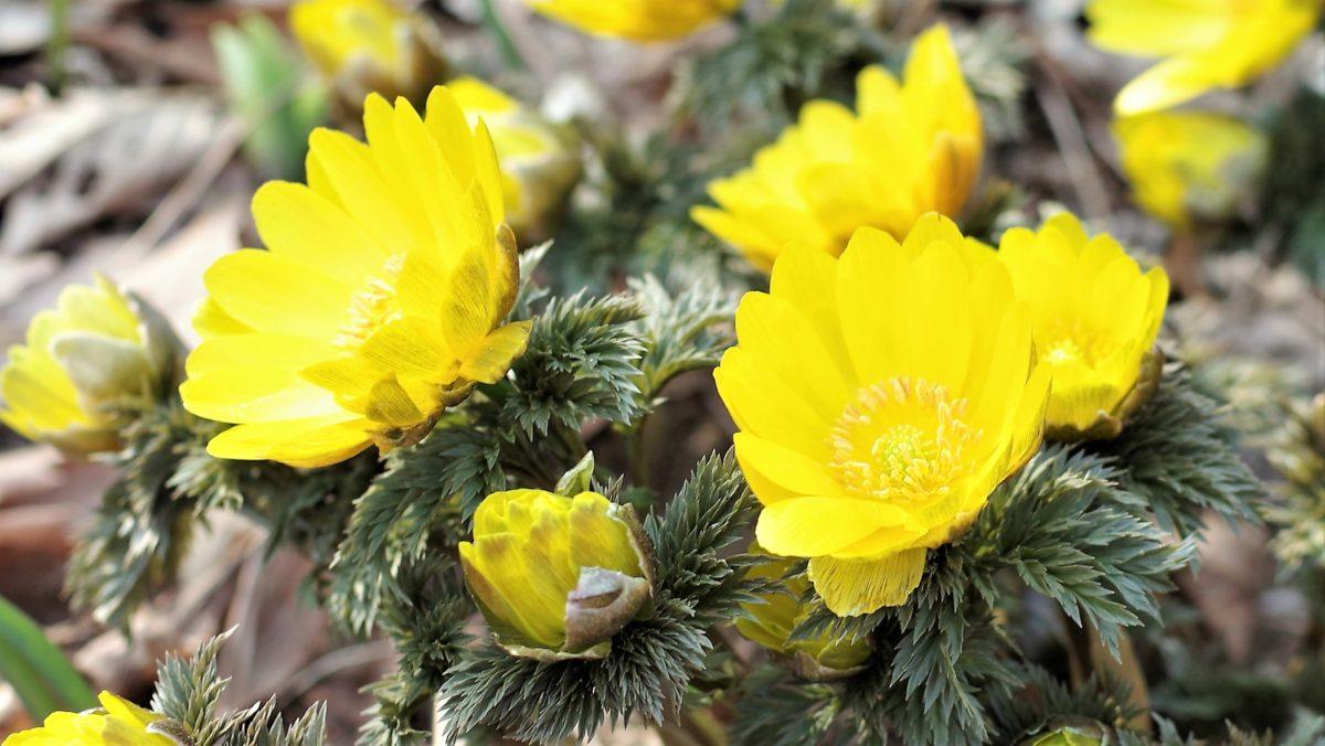 2月を代表する花フクジュソウ