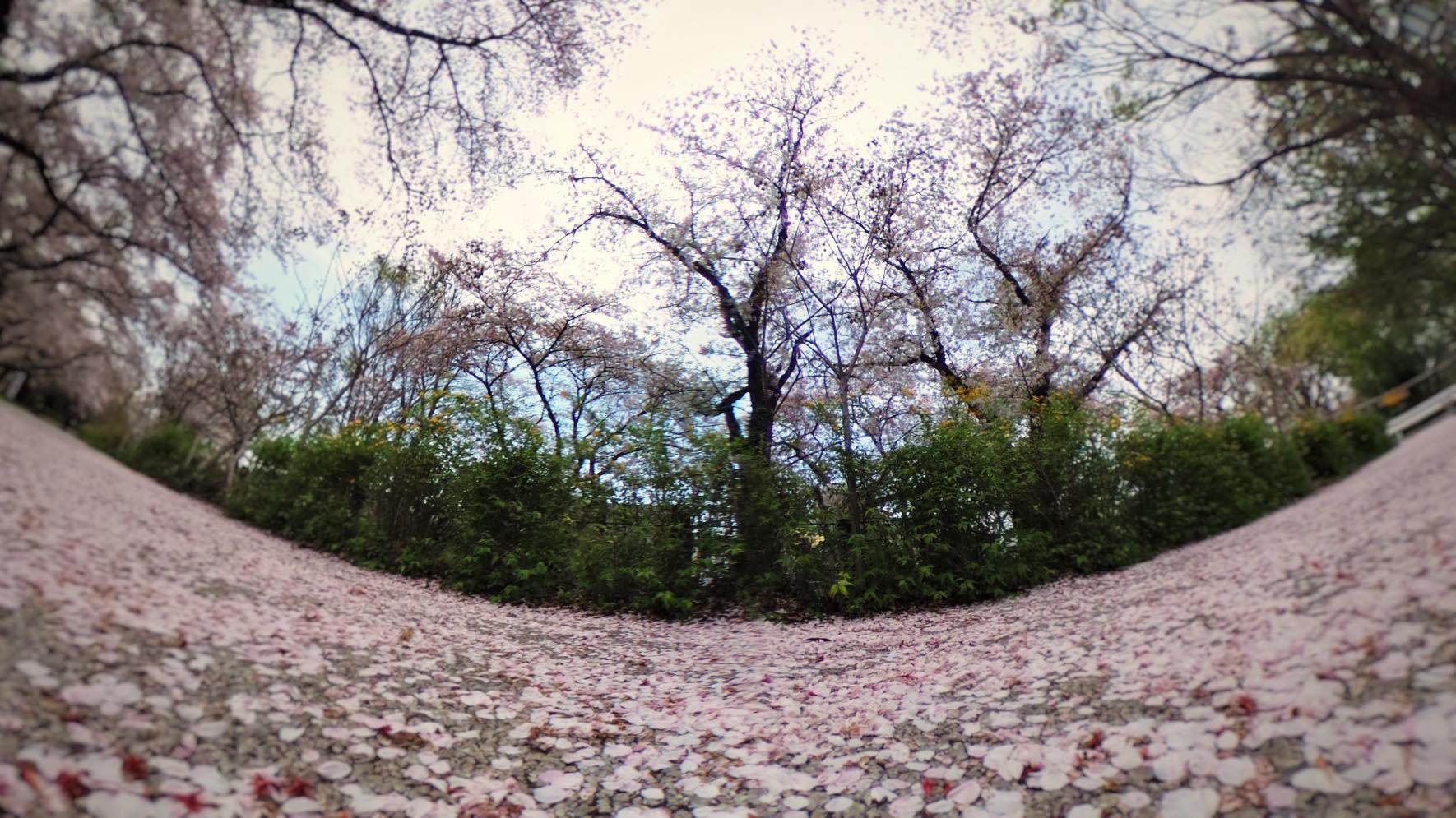 桜の絨毯2019_2