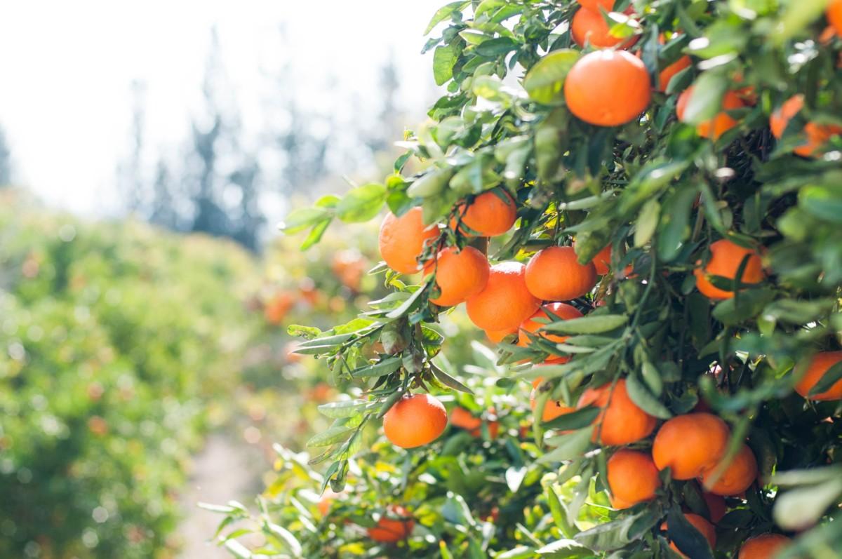 シプレノート キプロス島のオレンジ