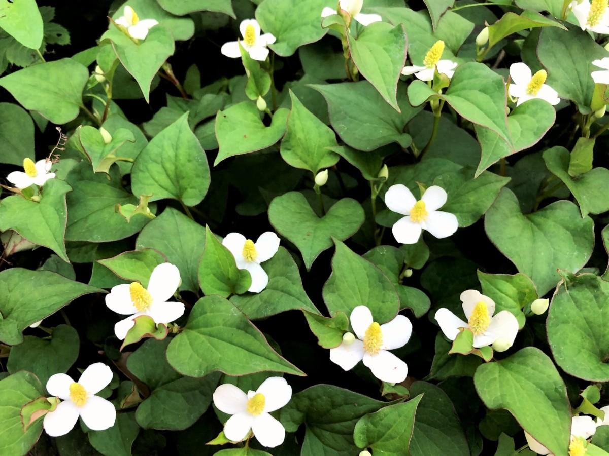 初夏の花 ドクダミ