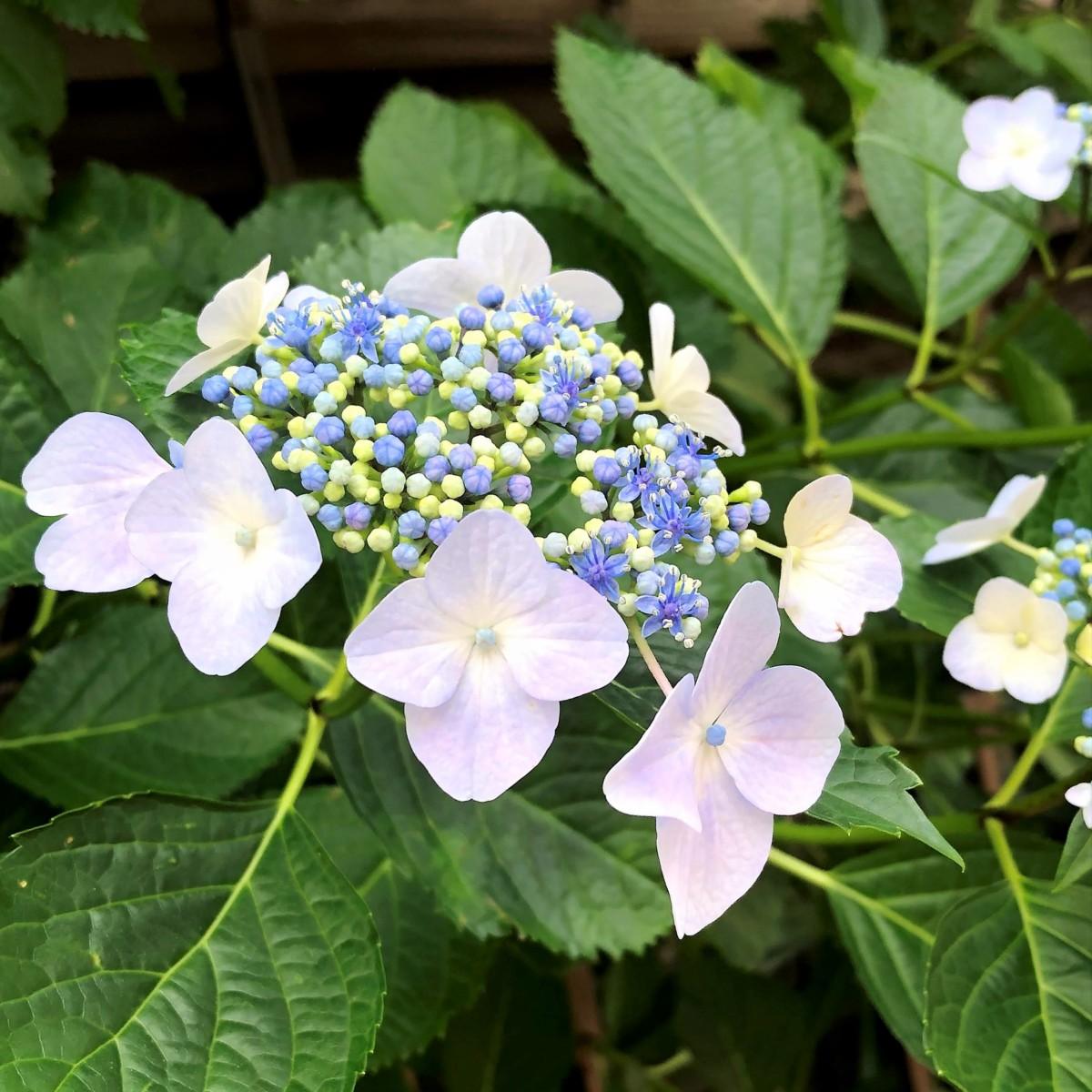 初夏の花 ガクアジサイ