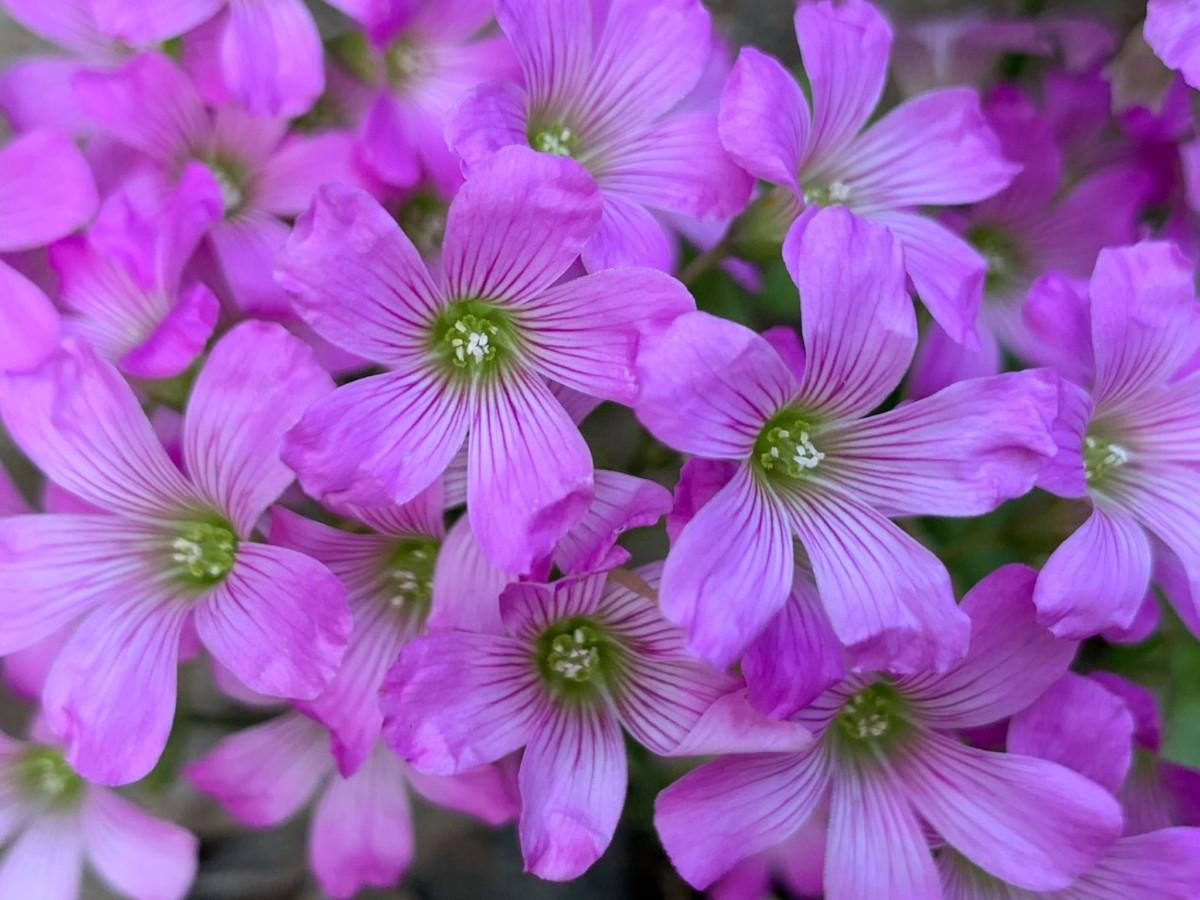 初夏の花 ムラサキカタバミ