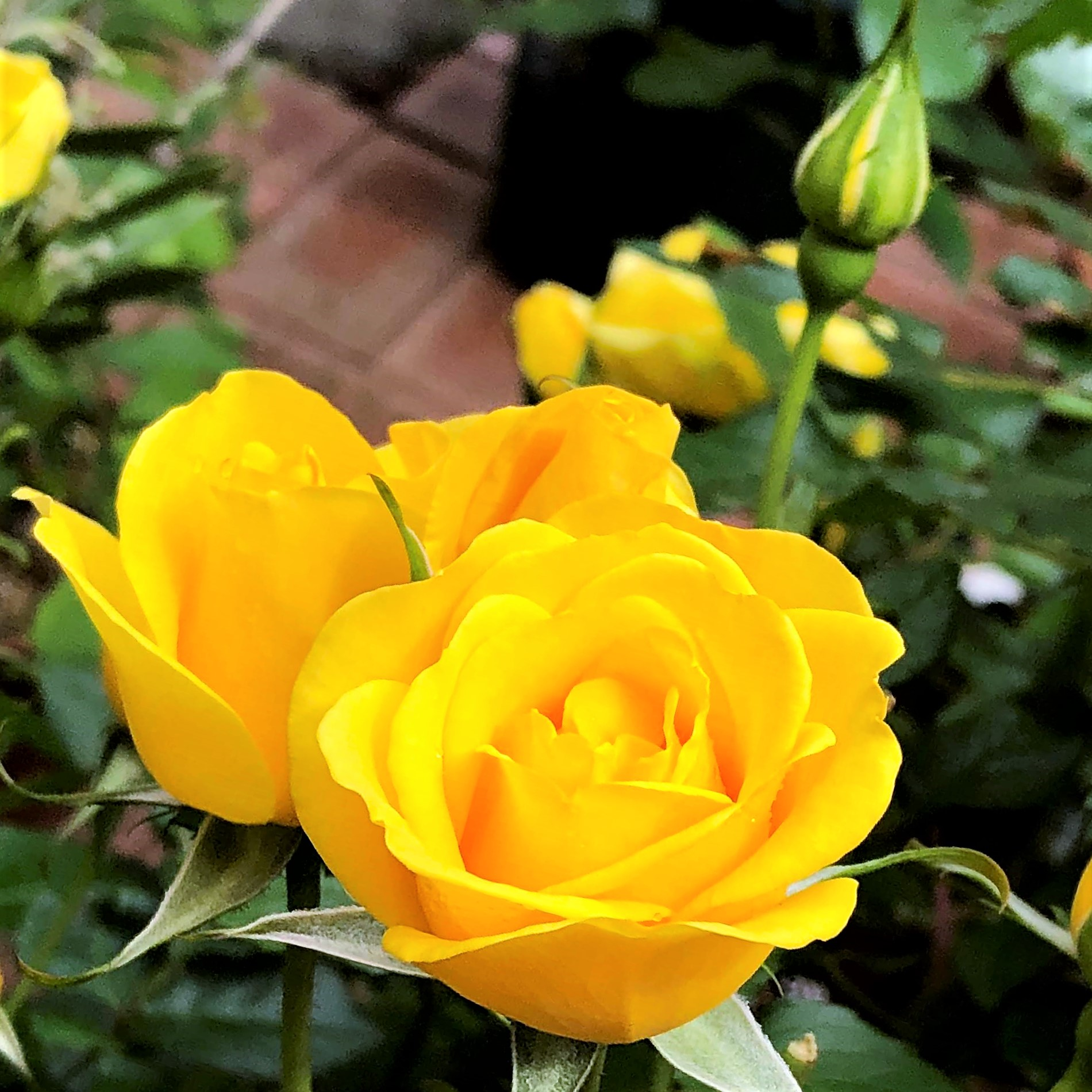 初夏の花 黄色いバラ