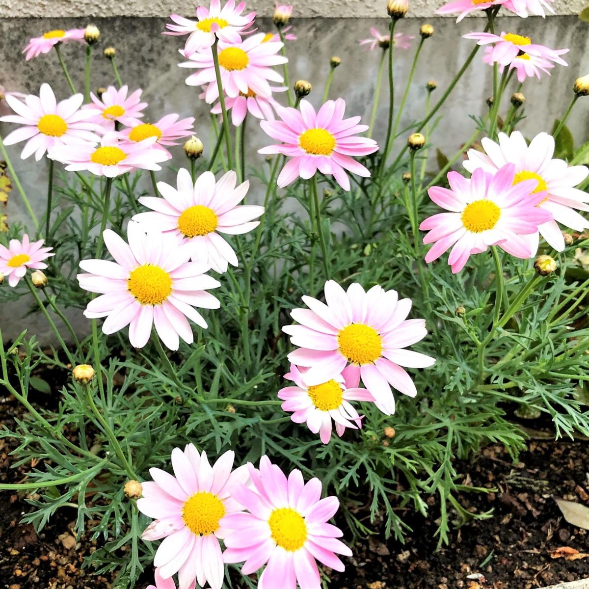 初夏の花 マーガレット