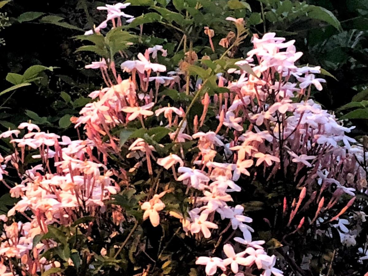 初夏の花 ハゴロモジャスミン