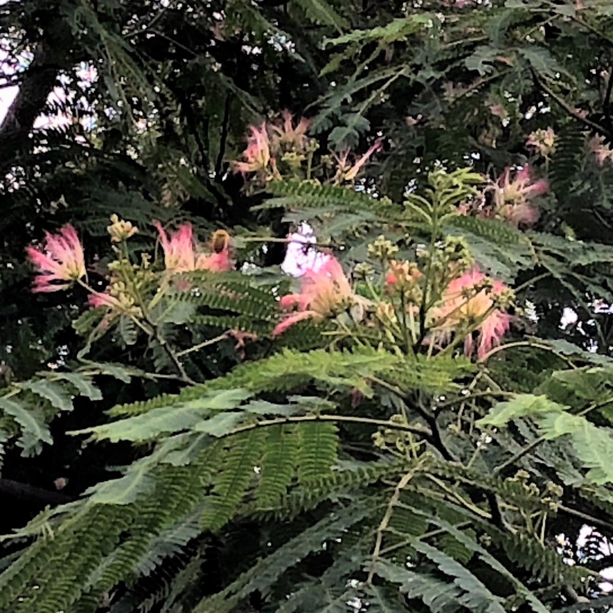 初夏の花 ネムノキ