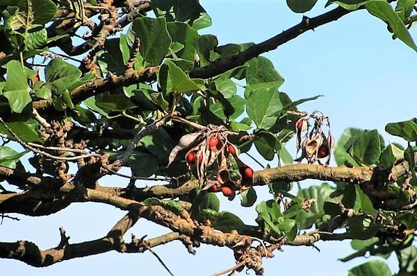 ウィリウィリ ハワイ 固有植物