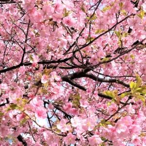 桜 サクラ ホク・ズッターマイスター